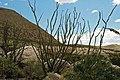 Fouquieria splendens (ocotillo) 1 (25789418848).jpg
