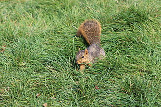 Fox squirrel - Fox squirrel foraging in the grass in Indianapolis, Indiana.