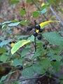 Frangula alnus subsp. baetica Frutos 2009-6-14 SierraMadrona.jpg