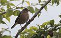 Fringilla coelebs - Common Chaffinch, Giresun 2016 01-2.jpg