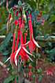 Fuchsia 'Mantilla'.jpg