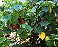 Funchal Jardim botanico Dombeya wallichii 2016 1.jpg