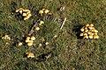 Fungi near Bellever Bridge - geograph.org.uk - 1590359.jpg