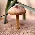Fungus growing on the dunes - geograph.org.uk - 260773.jpg