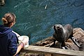 Fur Seal feeding at Living Coasts.jpg