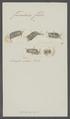Furcularia felis - - Print - Iconographia Zoologica - Special Collections University of Amsterdam - UBAINV0274 101 04 0022.tif