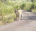 Furious tiger.jpg