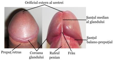 coroană penis masculin)