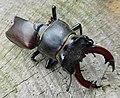 GT Stag Beetle alive, abdomen eaten by magpie.jpg