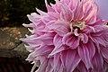Garden of Five Senses Dahlia Flower.jpg