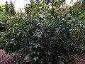 Gardenology.org-IMG 2547 ucla09.jpg