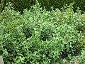 Gardenology.org-IMG 2822 rbgs11jan.jpg