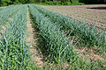 Garlic (with weeds) (4648919242).jpg