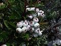 Gaultheria hispida.fruit.jpg