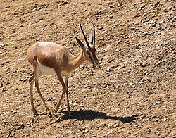 meaning of gazelle