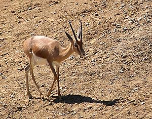 Erigavo - The Dorcas Gazelle.