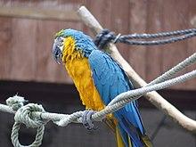 Makaw kuning biru