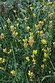 Genista sagittalis fleurs.jpg