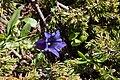 Gentiana acaulis-4582 - Flickr - Ragnhild & Neil Crawford.jpg