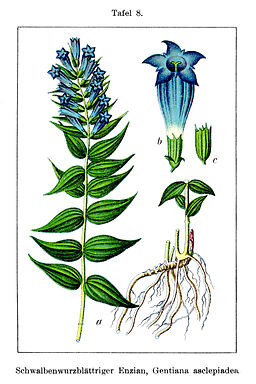 Gentiana asclepiadea Sturm8