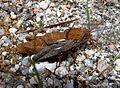 Genus Eumigas. Pamphagidae - Flickr - gailhampshire (1).jpg