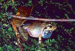 <i>Gephyromantis leucocephalus</i> Species of amphibian