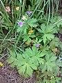Geranium bohemicum 01.jpg