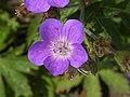 Geranium sylvaticum - Wald-Storchschnabel.jpg