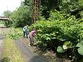 Gestion de a renouée du Japon pour protéger un ourlet à Pétasite (Carrière des Nerviens).JPG