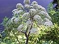 Gewone engelwortel R0012882 bloem.JPG