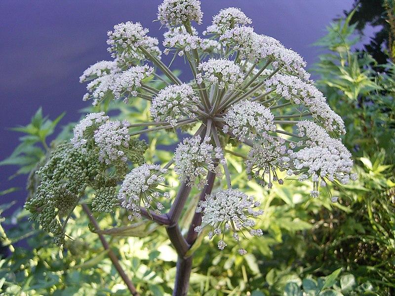 File:Gewone engelwortel R0012882 bloem.JPG