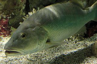 Cubera snapper species of fish