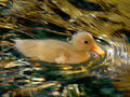 Gimpressionist 54 duck 640 6cr nevit.jpg