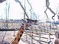 Girafe - panoramio.jpg