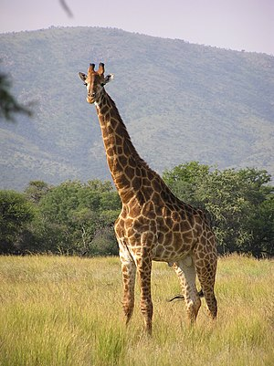 A bull giraffe in natural environment, South A...