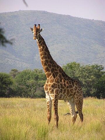 Hur fick giraffen sin långa hals?