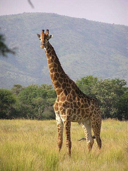 चित्र:Giraffe standing.jpg