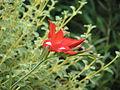 Gladiolus cardinalis (5914814593).jpg
