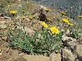 Glebionis segetum plant (09).jpg