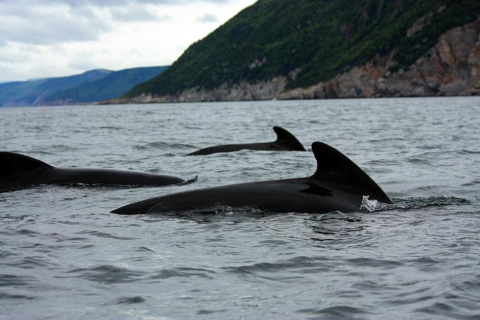 Globicephala melas Cape Breton group