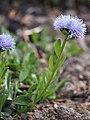 Globularia trichosantha Kulnik włosokwiatowy 2016-05-02 02.jpg