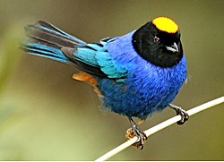 Golden-crowned Tanager.jpg