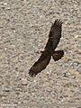 Golden Eagle (Aquila chrysaetos) (43571497662).jpg