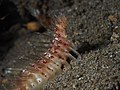 Golden Fireworm (Chloeia flava) (14217679378).jpg