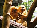 Golden lion tamarins.mh.jpg