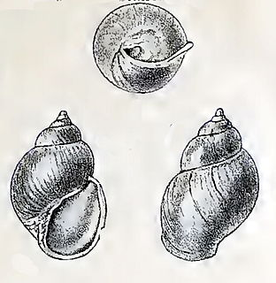 <i>Goodingia varicosa</i> species of mollusc
