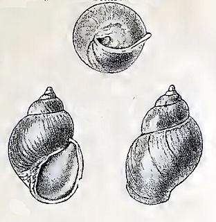 <i>Goodingia varicosa</i> Species of gastropod