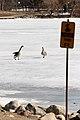 Goose dit Thin ice (2363797323).jpg