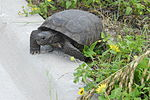 File:Gopher Tortoise at North Beach Community Park in NSB - Flickr - Andrea Westmoreland.jpg