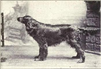 Point of view: Gordon Setter from 1915